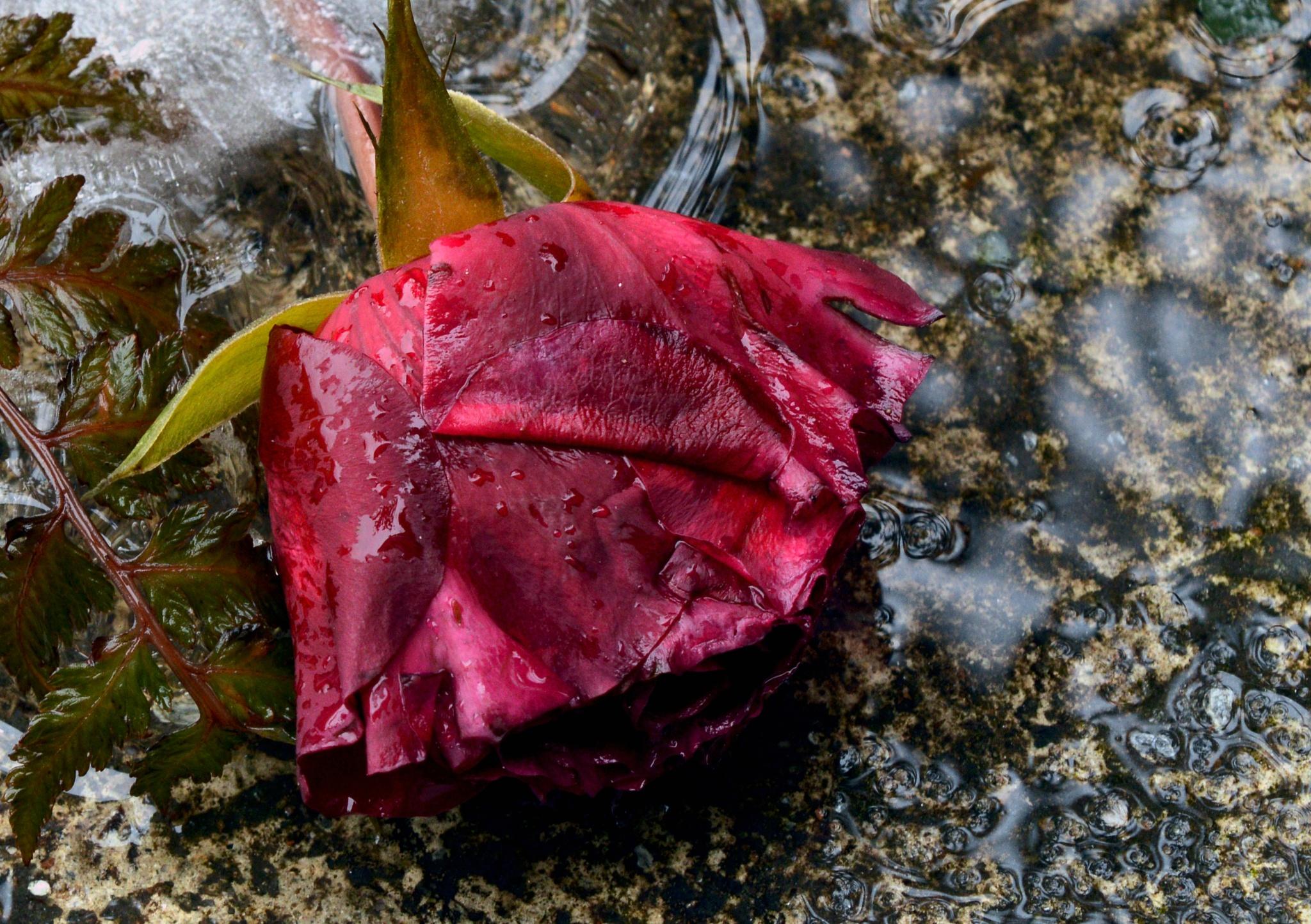 Rose in melting ice by olga.weston