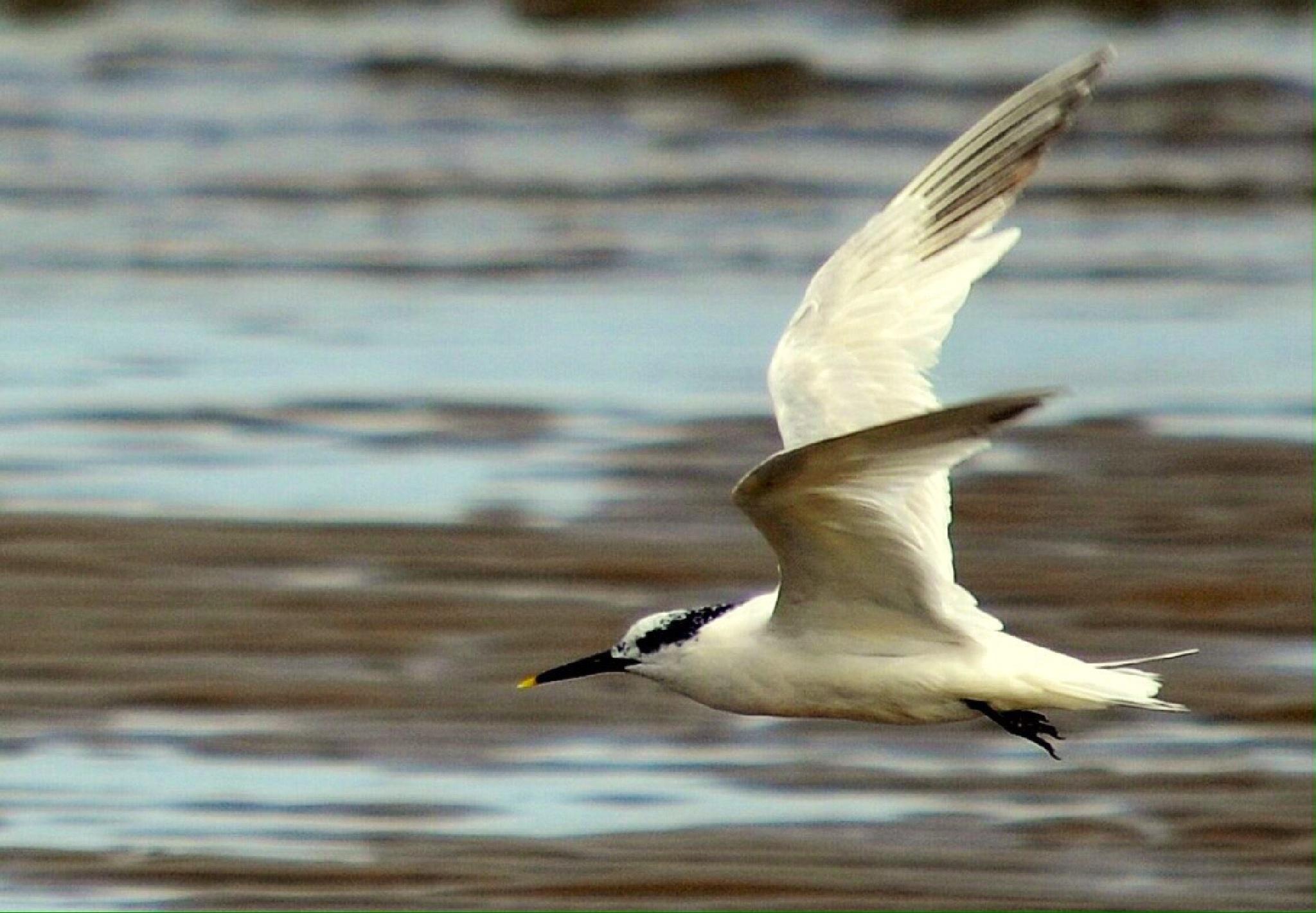 Sandwich Tern by lewis.davies
