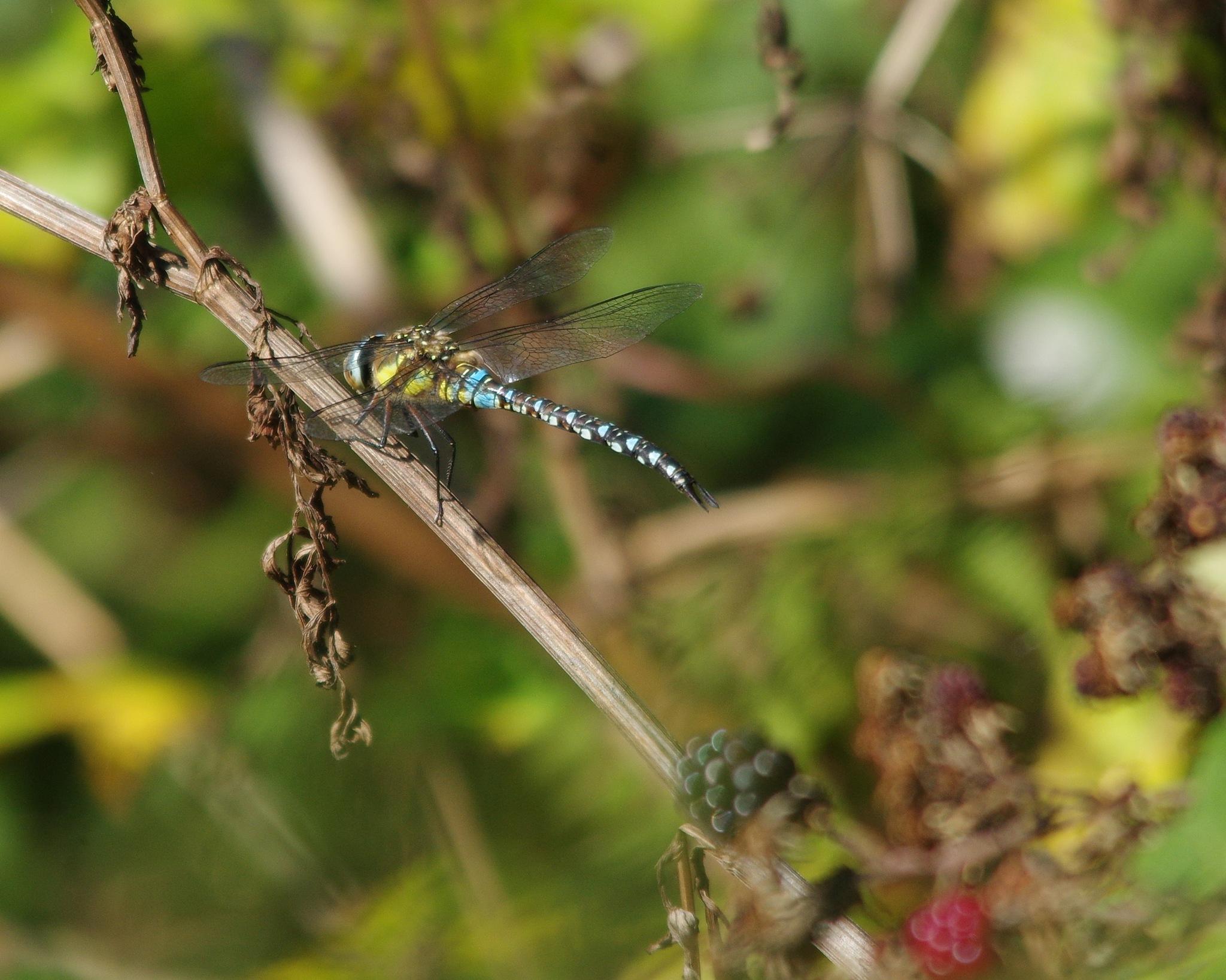 Migrant Hawker Dragonfly by Geoff Munro
