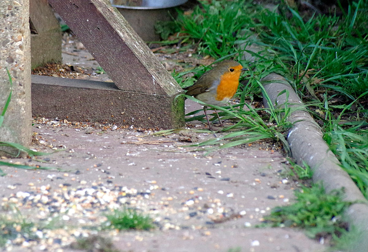 My Garden Robin 'Down for Breakfast' 2a-25 October 2016 by Owen Smithers