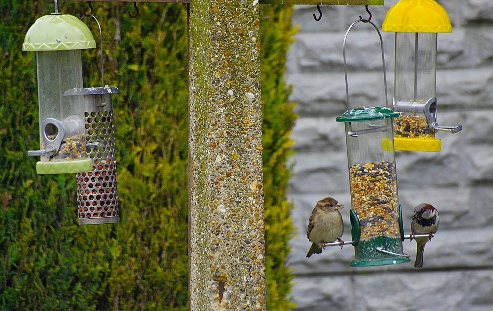 """My Garden Sparrows Feeding """"Make the most of it, it's all thats Left"""" 02 May 2017.jpg by Owen Smithers"""