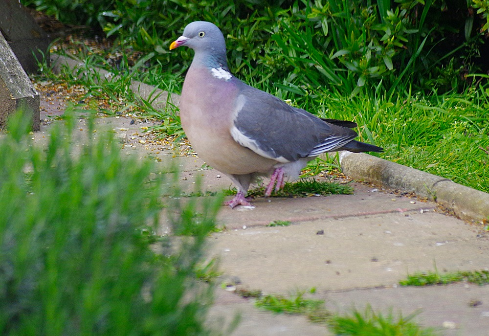 My Garden Wood Pigeon 'Gimpy' 6-02 May 2017.jpg by Owen Smithers