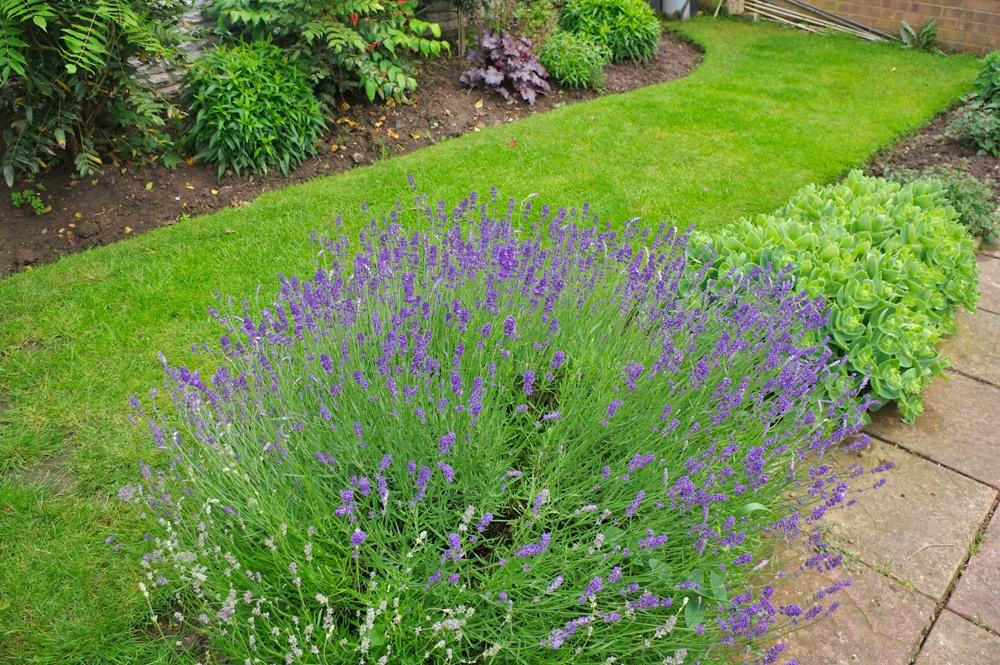 My Garden Lavender 3-23 June 2016 by Owen Smithers
