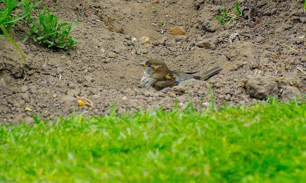 My Garden Sparrow taking a dust bath 03 May 2017.jpg by Owen Smithers