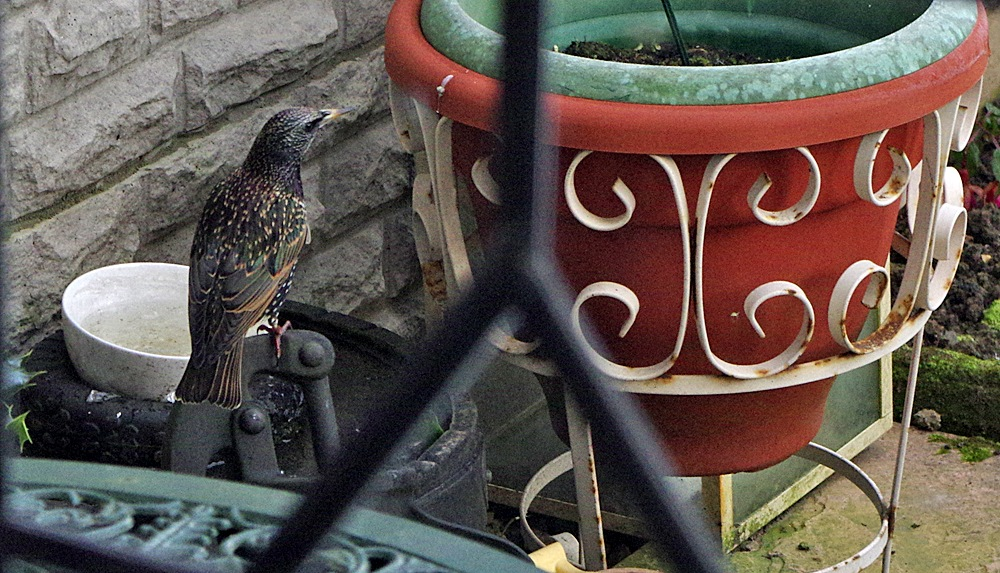 My Garden Starling 'Taking a Drink' 3-30 November 2016 by Owen Smithers