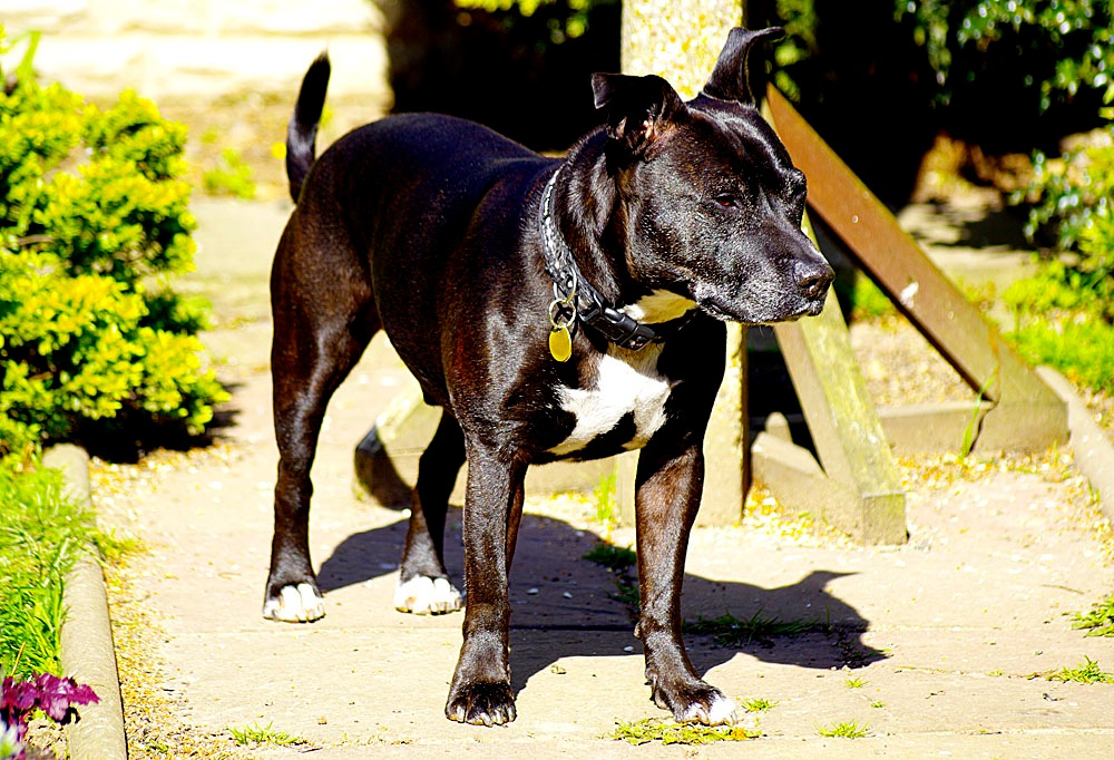 Staffordshire Bull Terrier Densil 'On Alert'181a 25 March 2017.jpg by Owen Smithers