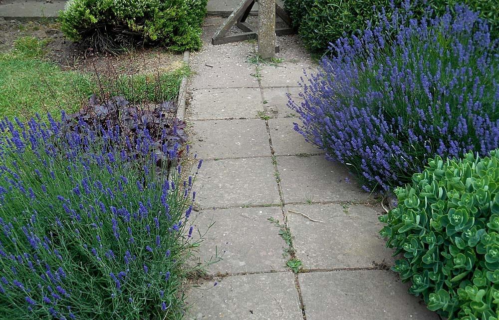 My Garden Lavender 5-16 June 2018.jpg by Owen Smithers