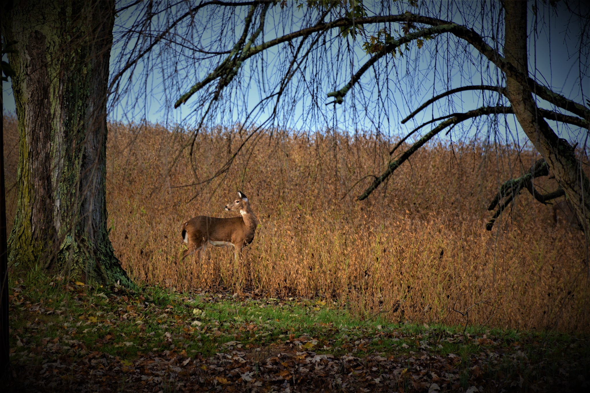 Deer in field  by Zach Henderson
