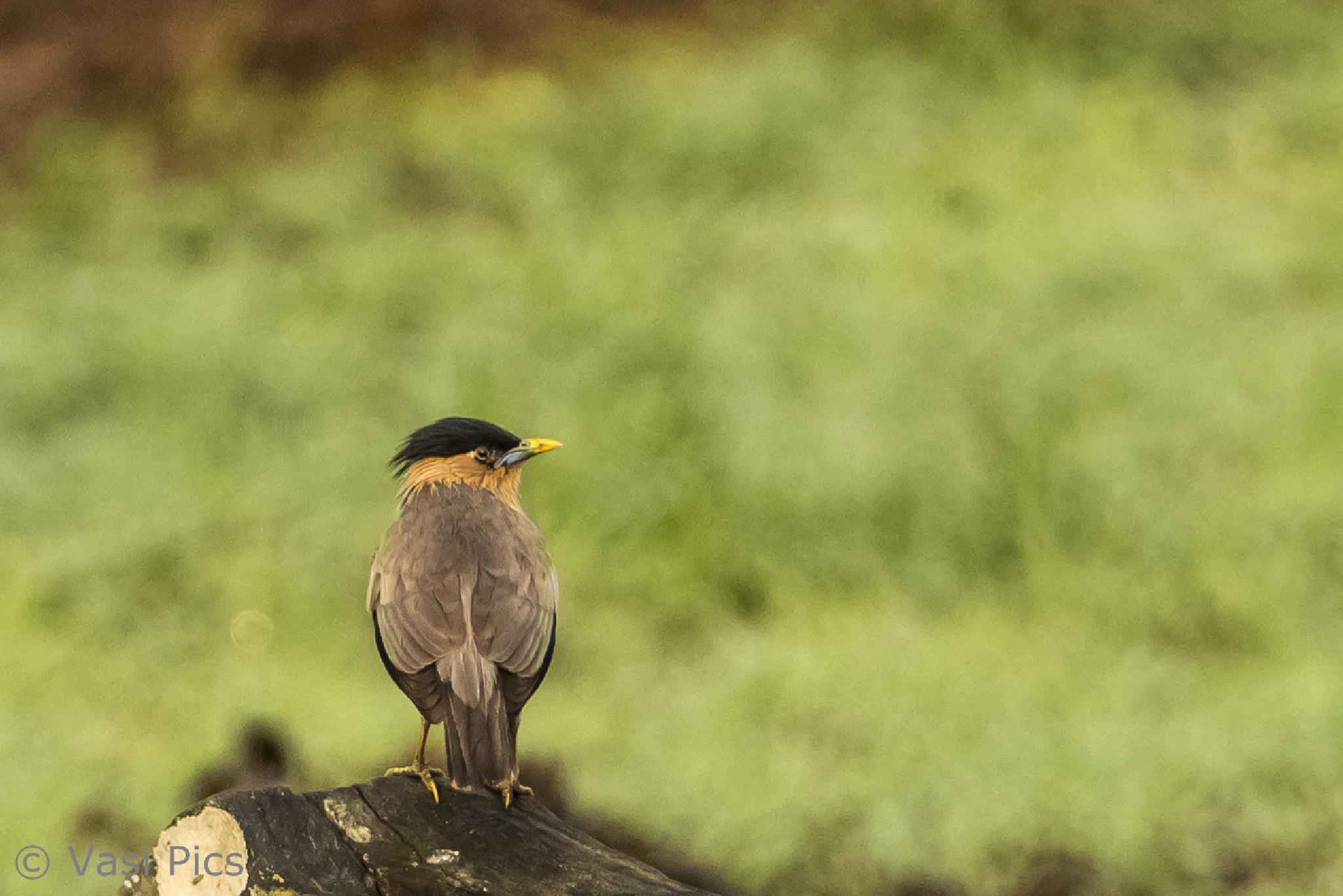Brahminy Starling by vasi23