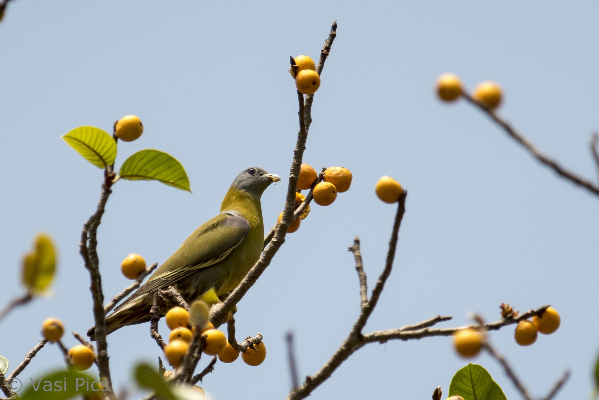 Yellow-Footed Green Pigeon by vasi23