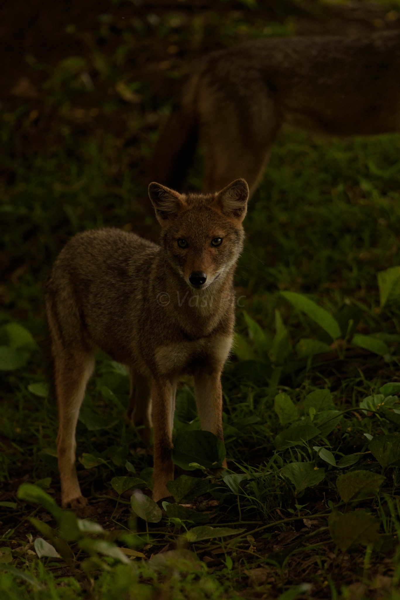 Indian jackal by vasi23