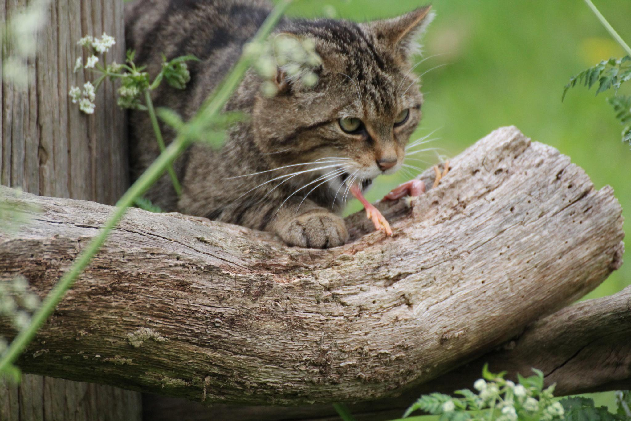 Wild Cat by judithjakes