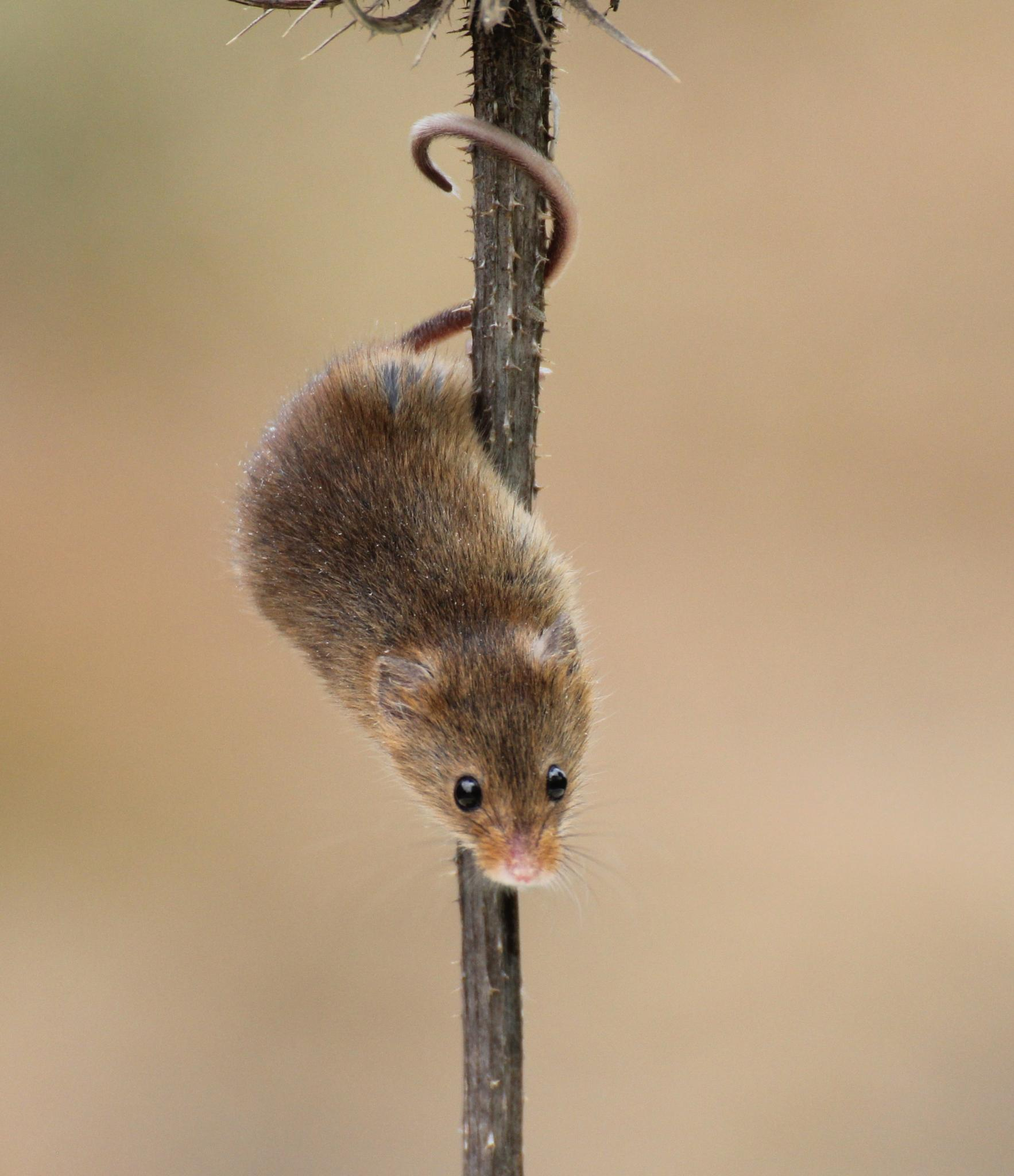 Harvest Mouse by judithjakes
