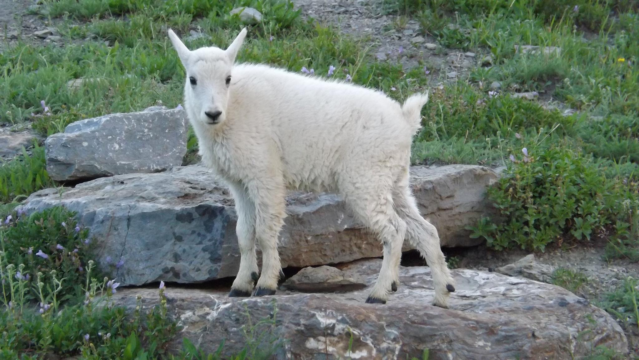 Precious  White Mountain Goat by MissRenee40
