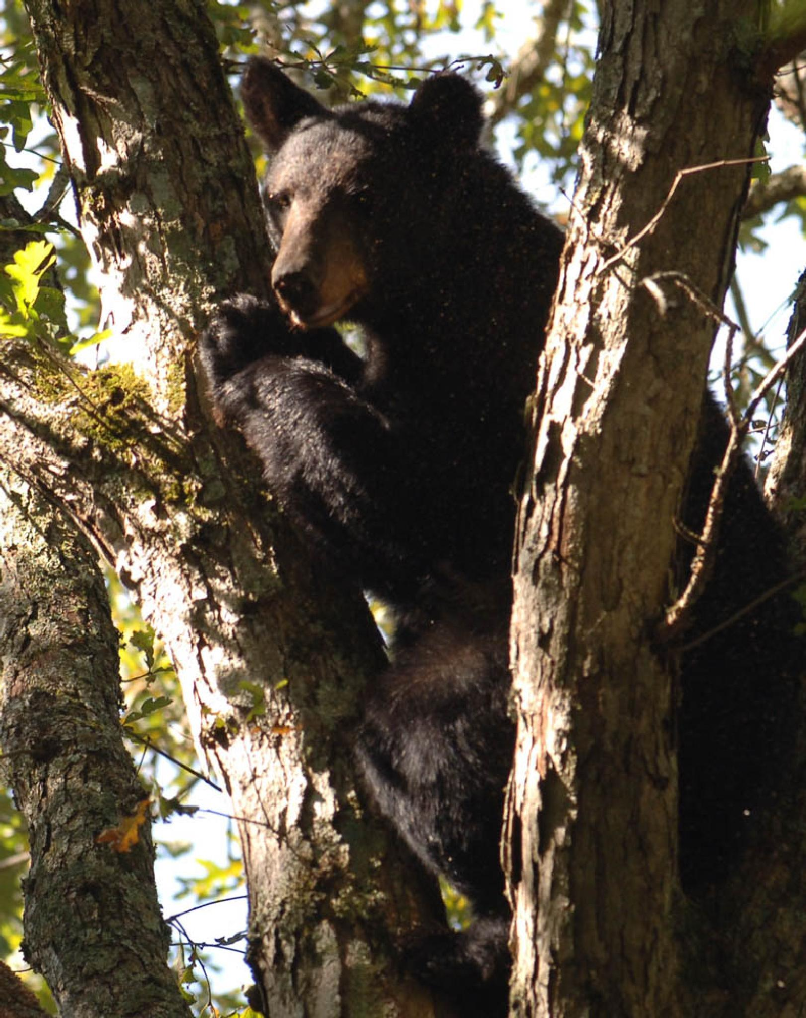 Black Bear by Buck Sleuman