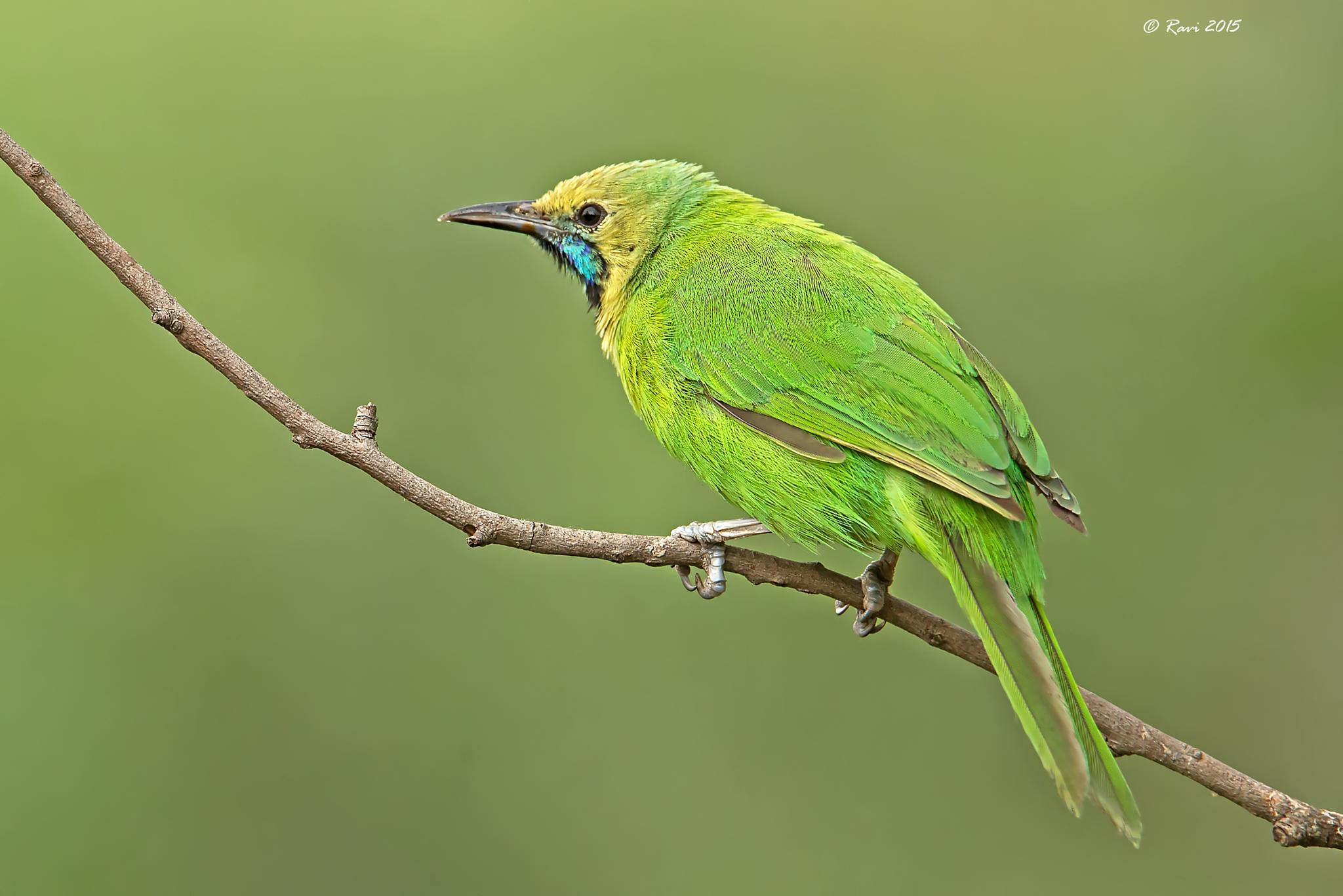 Jerdon's Leafbird by Ravi Ramakrishnappa
