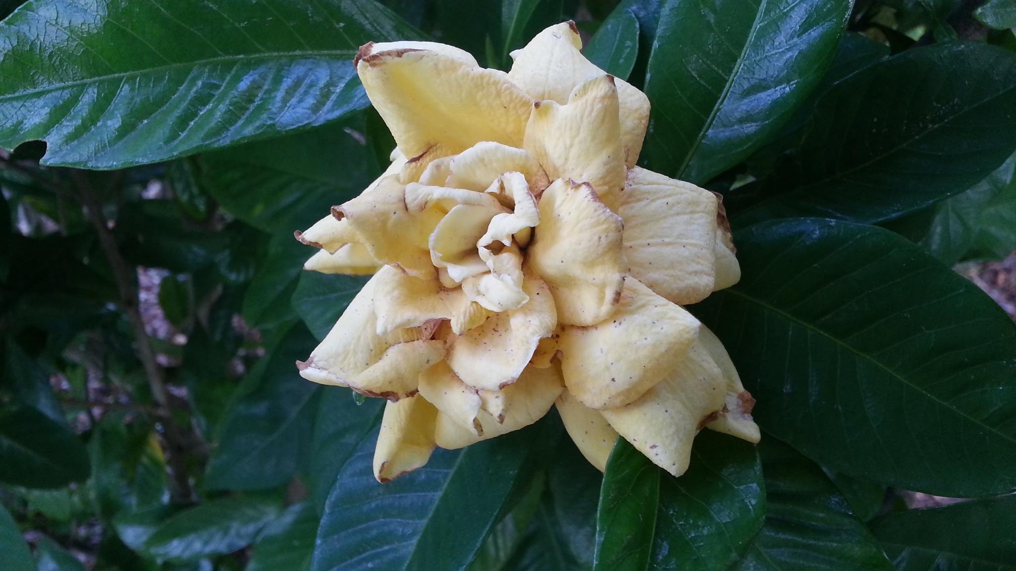 A frail magnolia. by Michael De St Pern