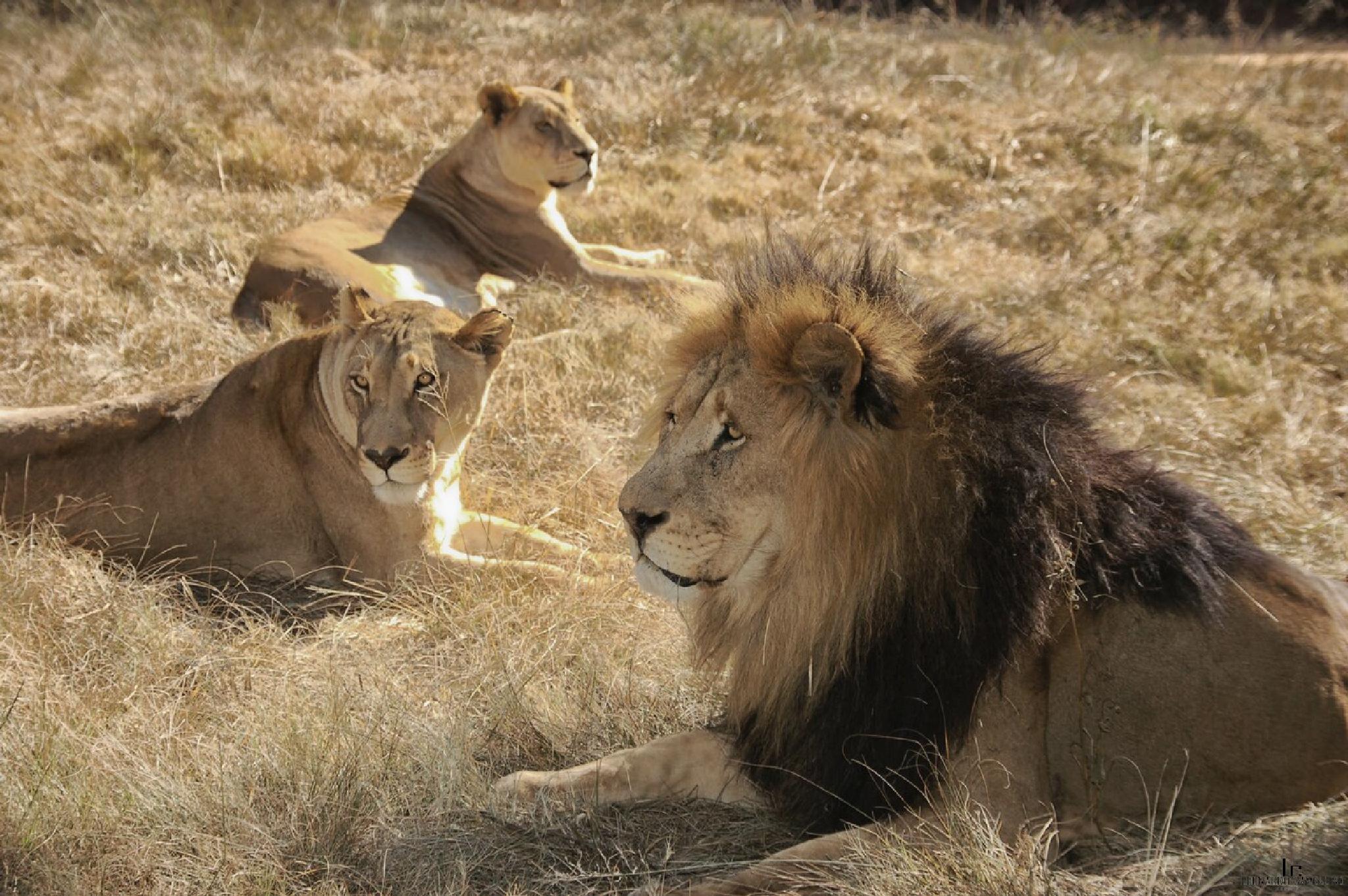 Lions in Kruger National Park by leonardocamellino