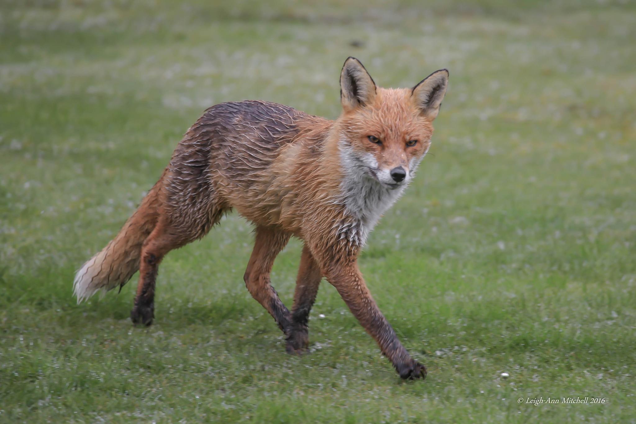 FOX by Leigh-Ann Mitchell