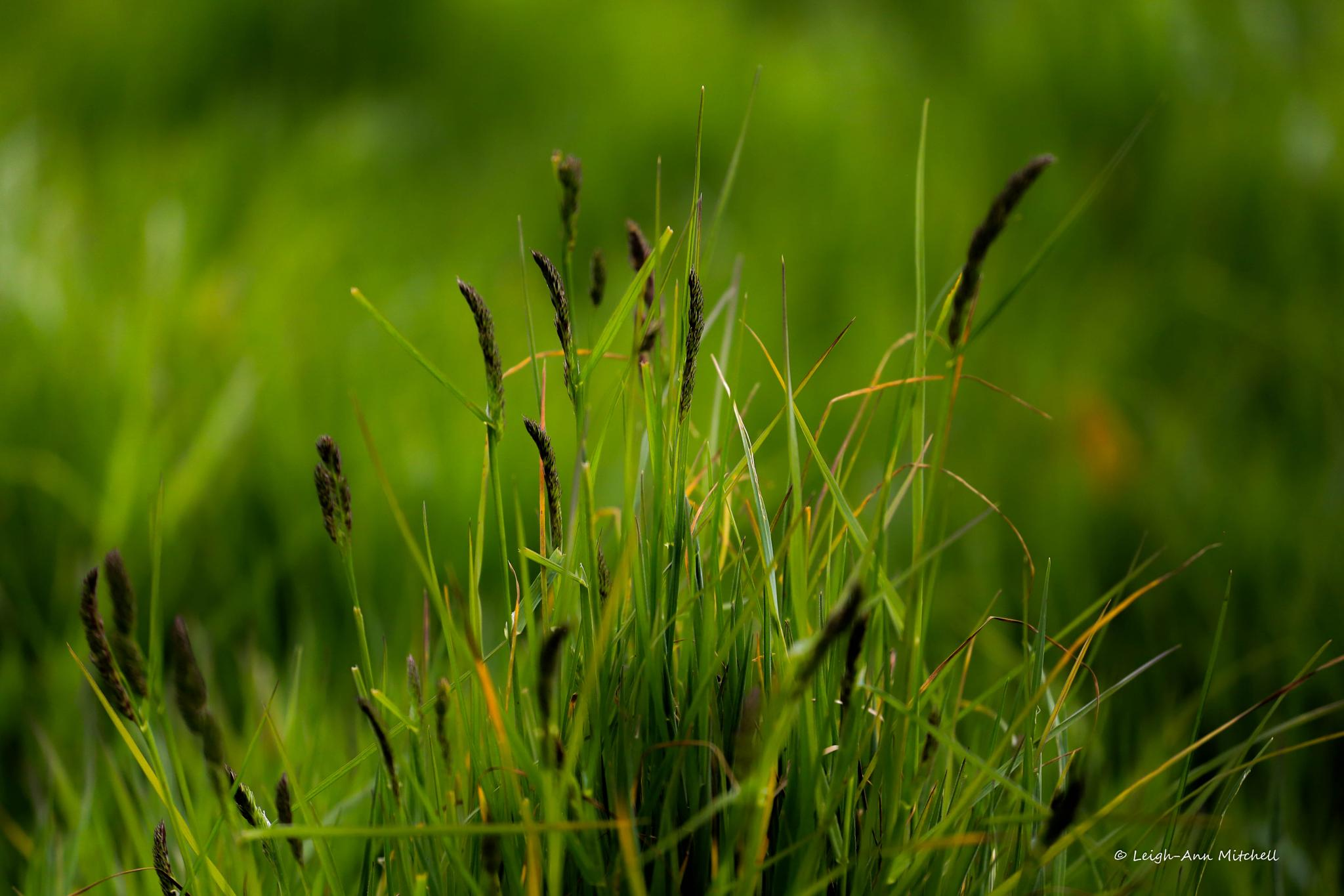 THE GREEN GRASS OF HOME by Leigh-Ann Mitchell