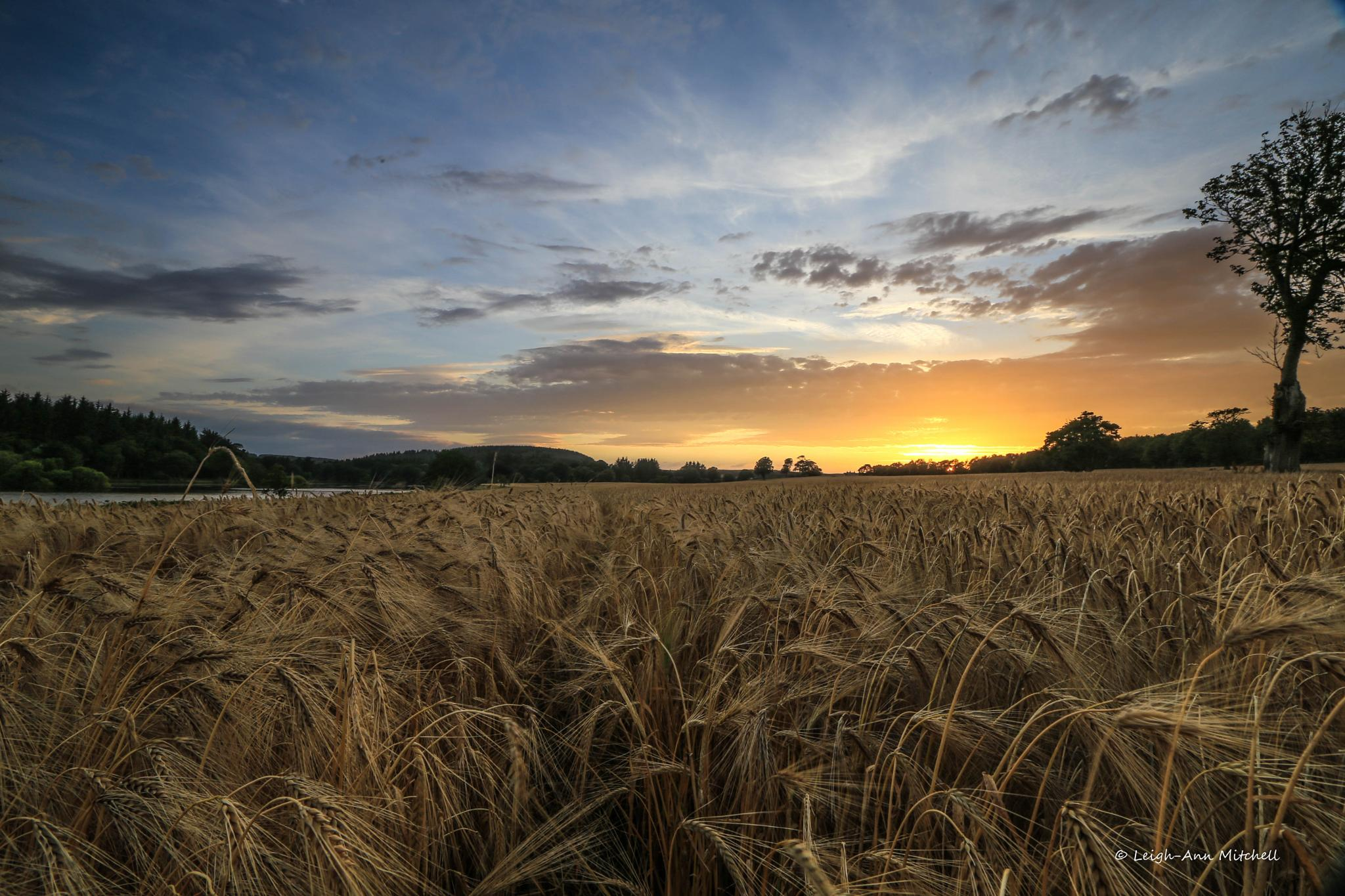 SUNSET OVER FIELD OF GOLD... by Leigh-Ann Mitchell