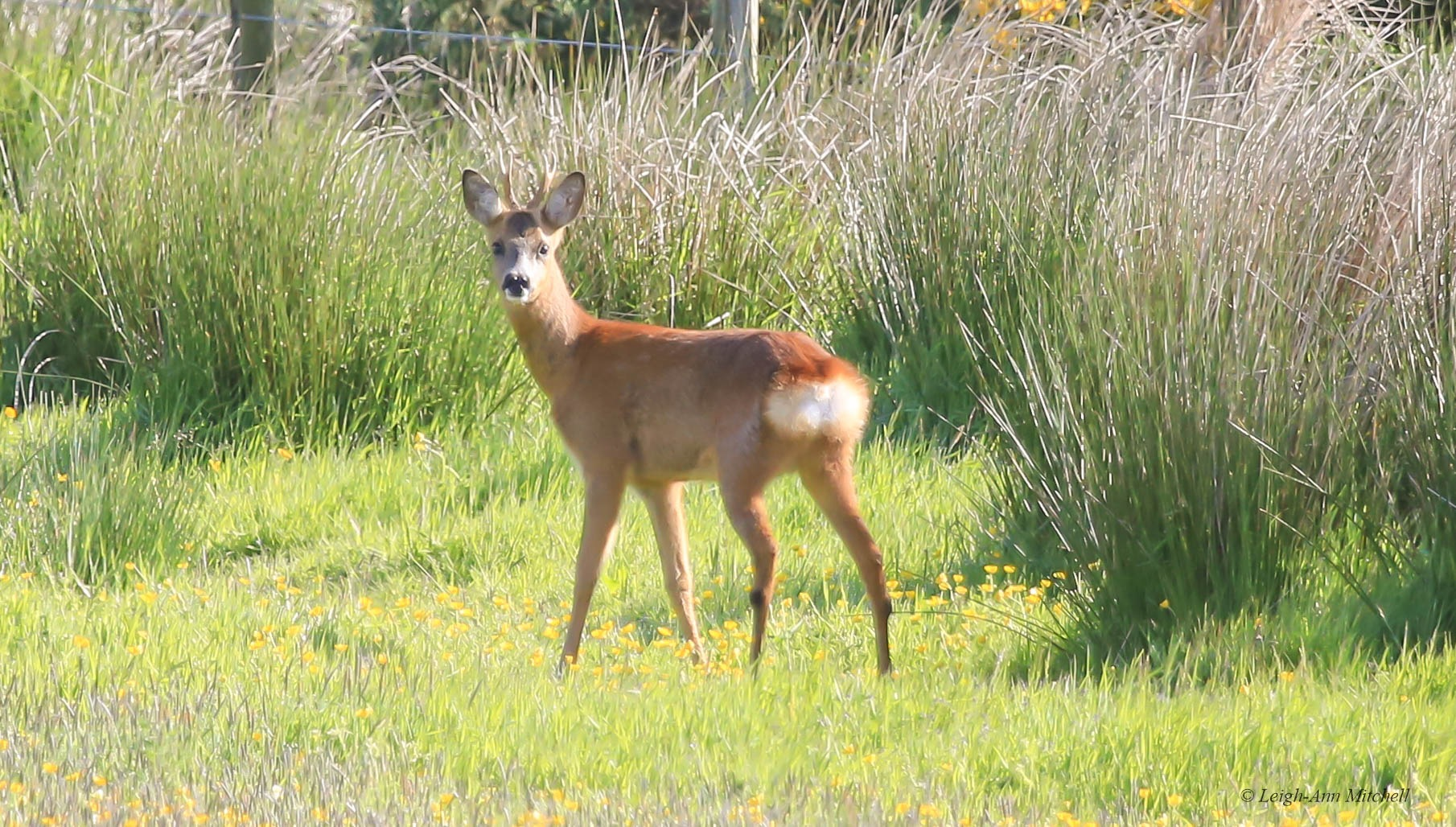 Young Buck by Leigh-Ann Mitchell