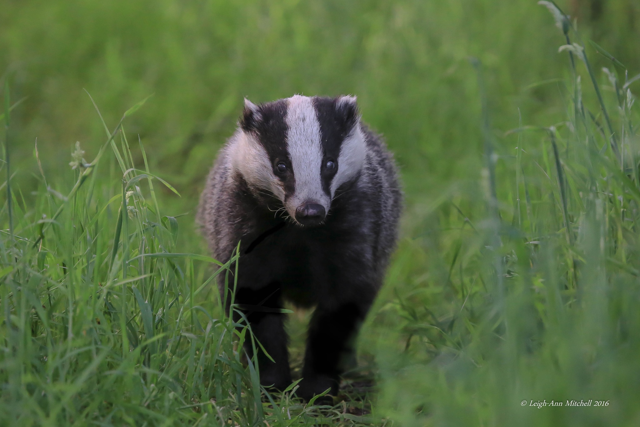 WALK THIS WAY BADGER by Leigh-Ann Mitchell