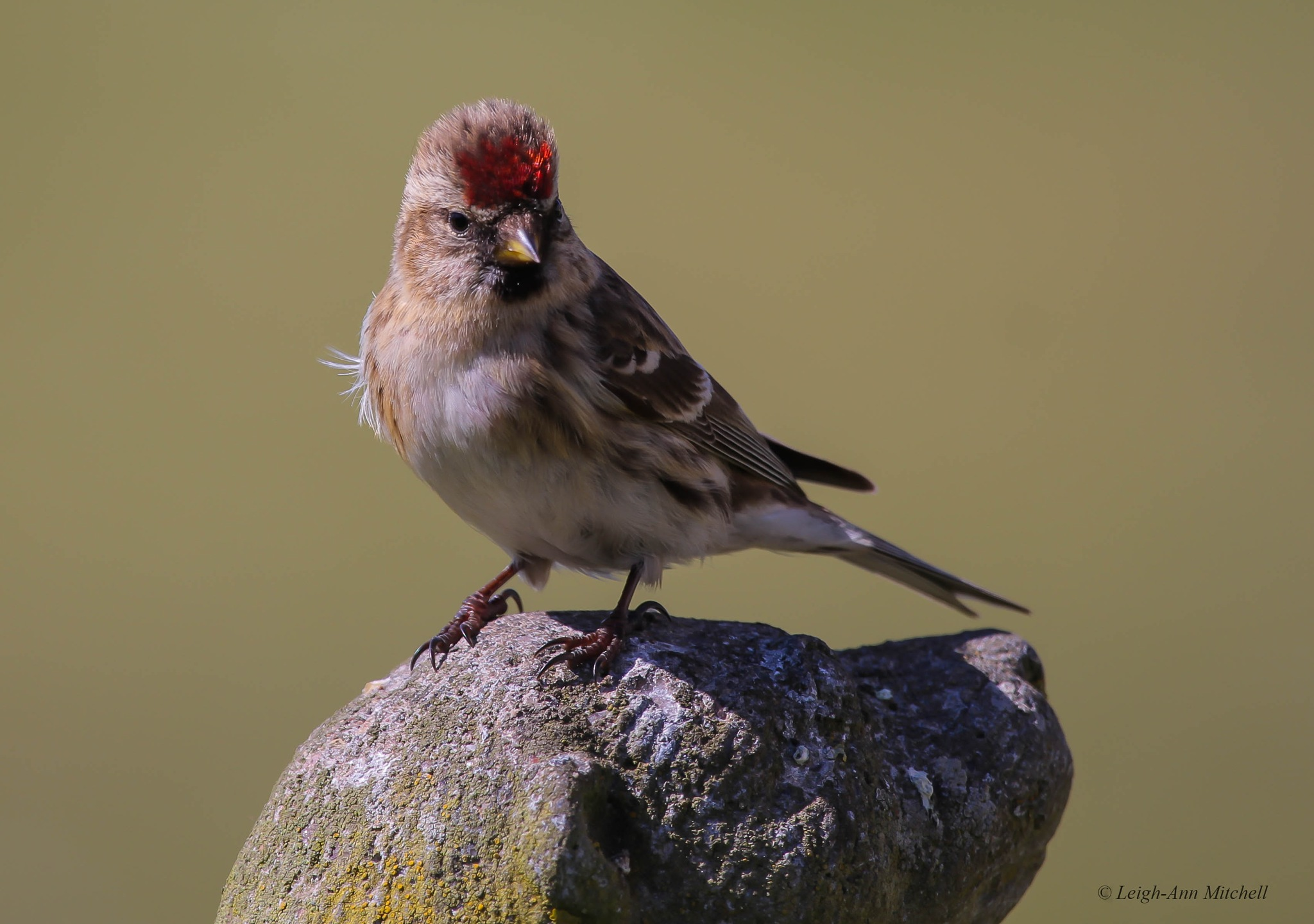 REDPOLL by Leigh-Ann Mitchell