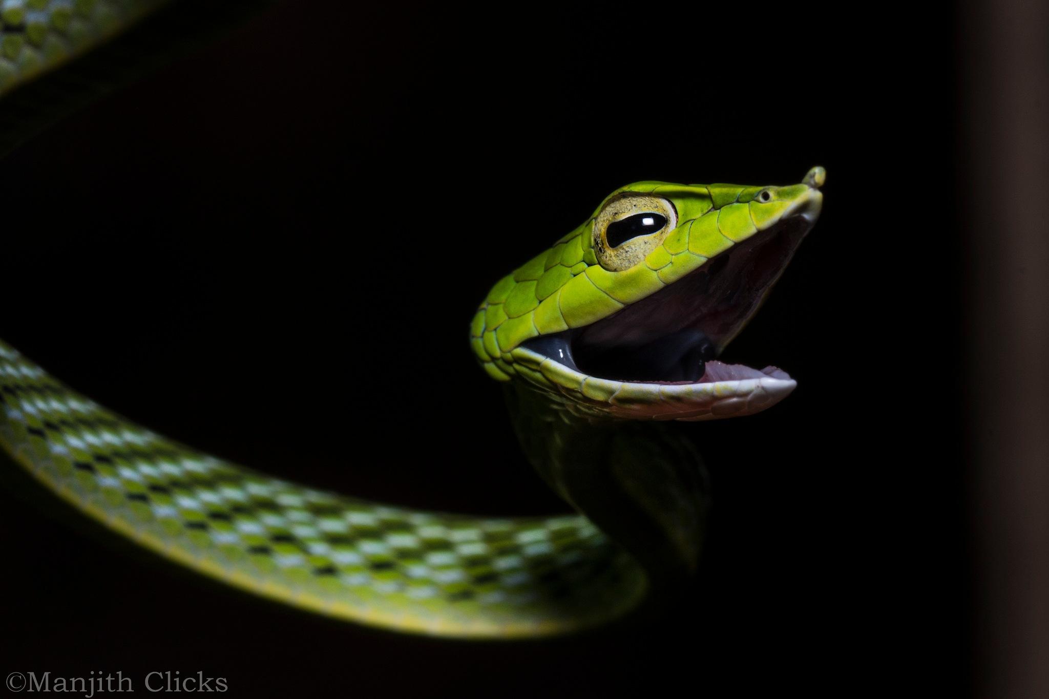 Green vine snake by Manjith Babu