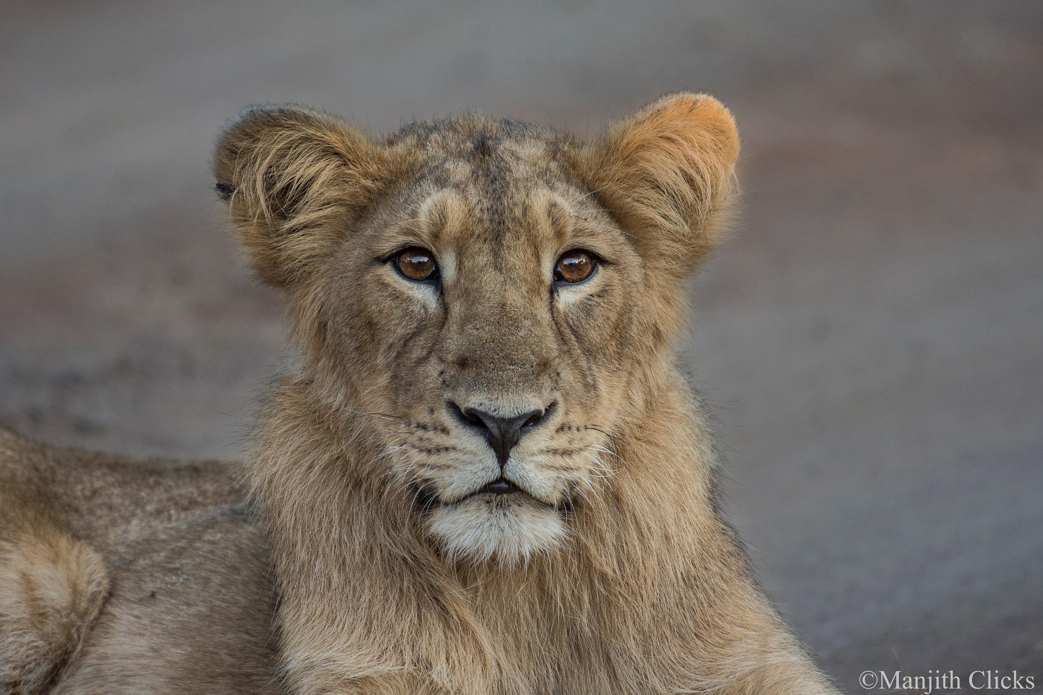 Asiatic lion by Manjith Babu