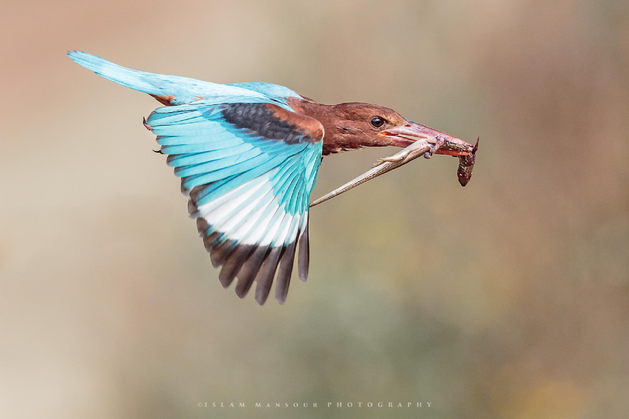 White Throated Kingfisher after catching a Skink by islmansour