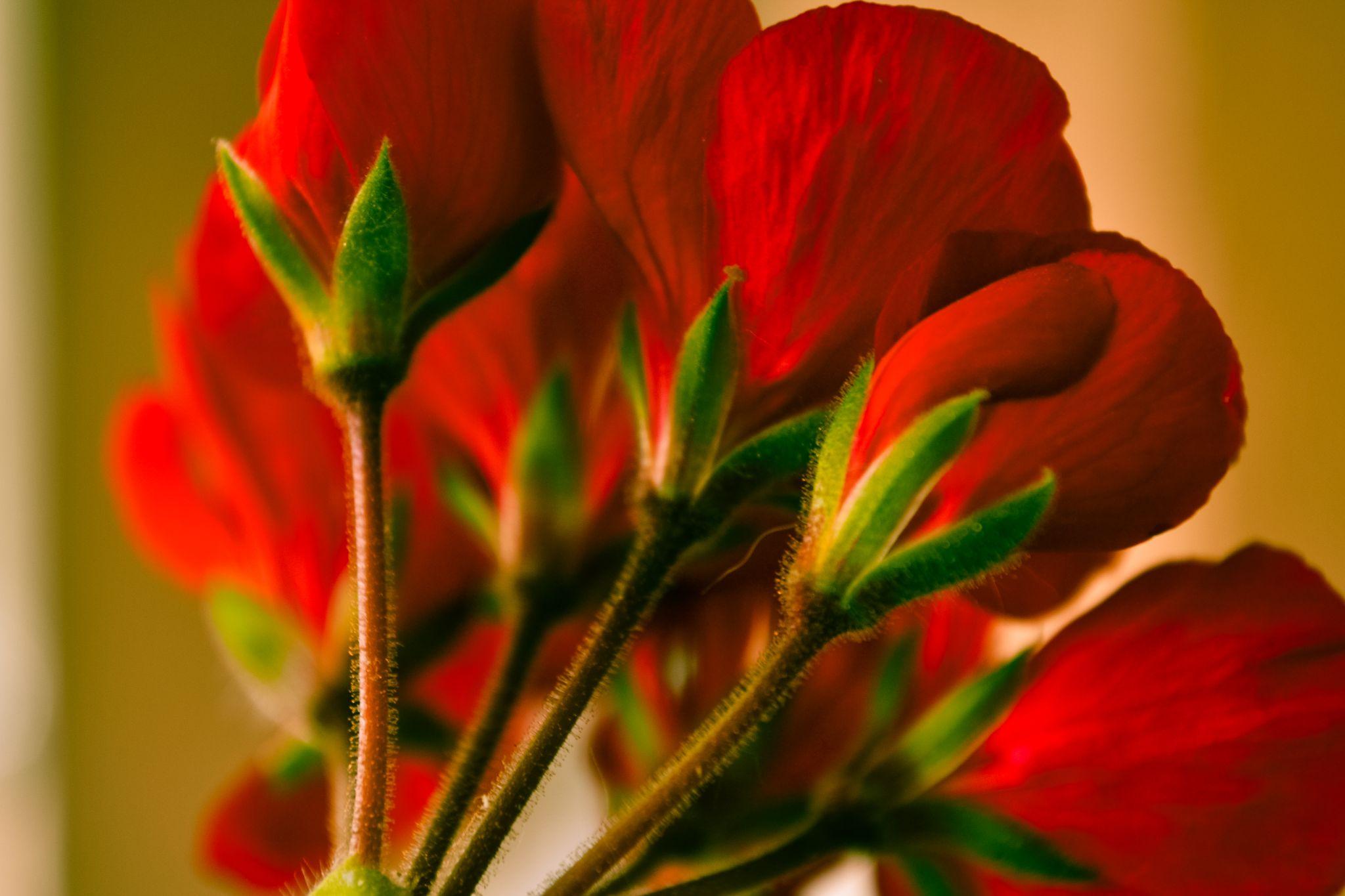 geranium by cigdem