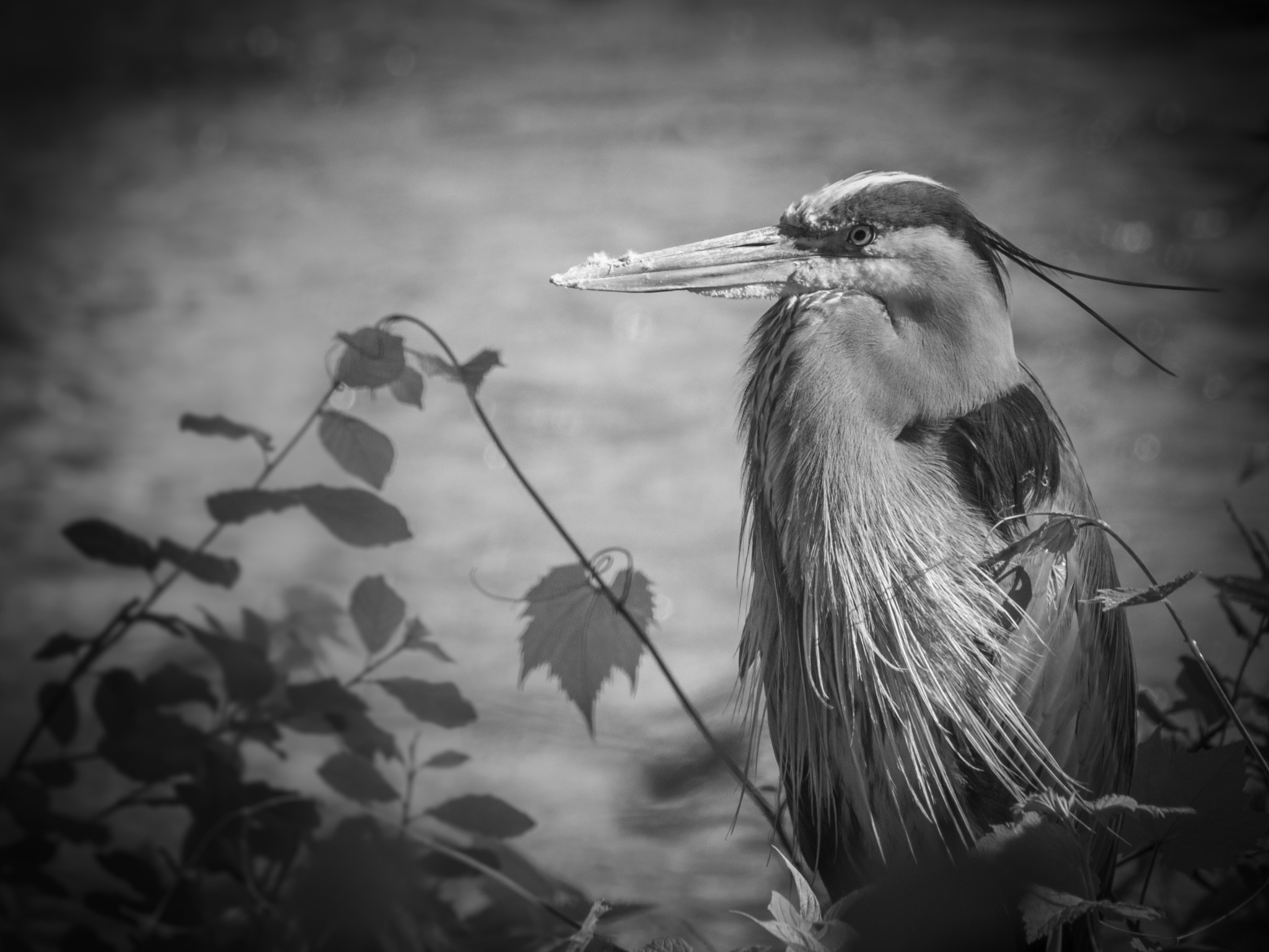 Great Blue heron by Eugenie Robitaille