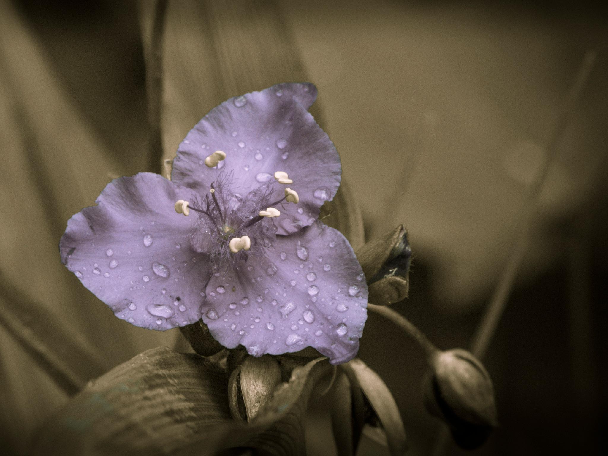 Beautiful Spiderwort flower in bloom by Eugenie Robitaille