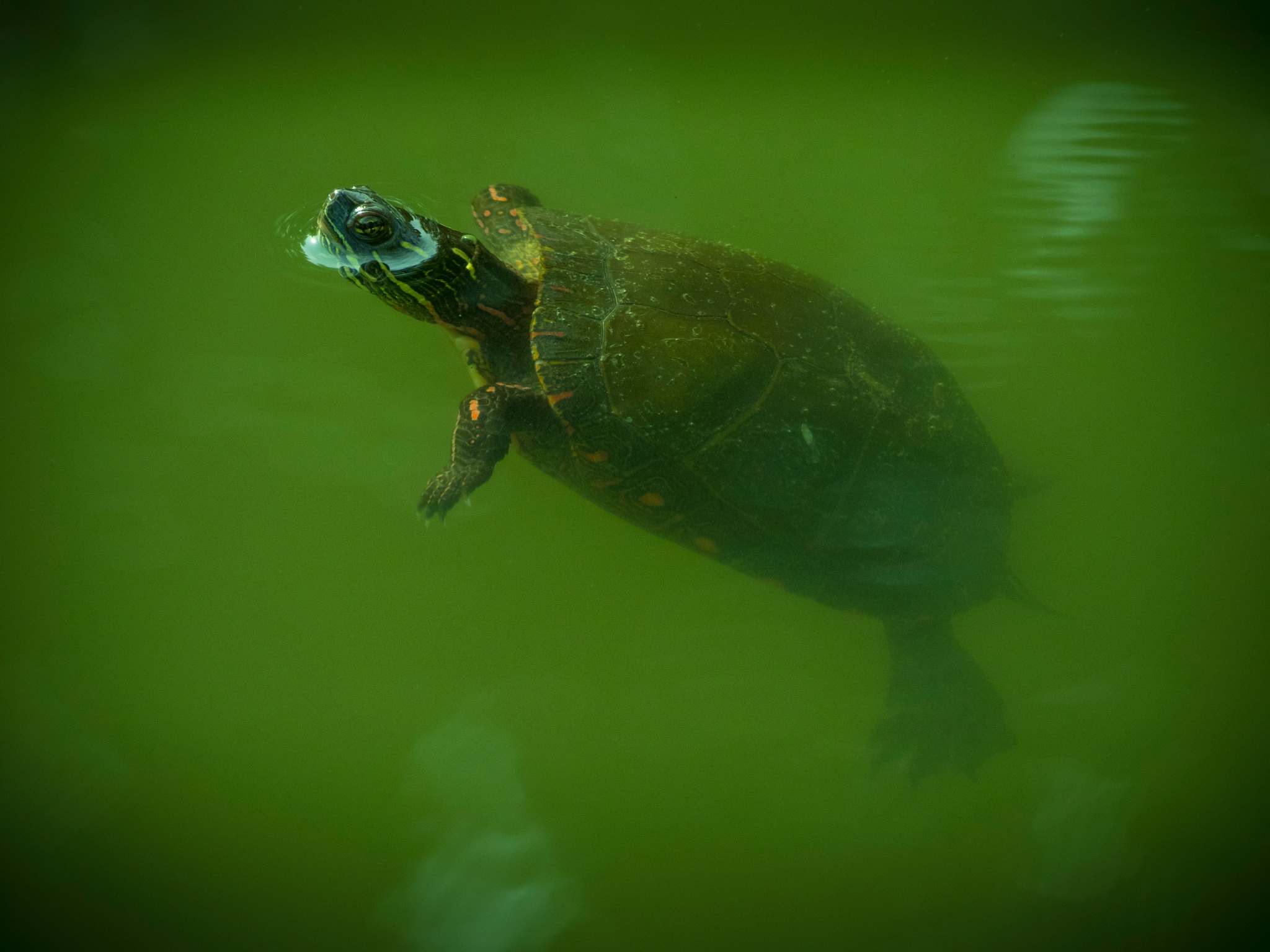 Painted turtle swimming by Eugenie Robitaille