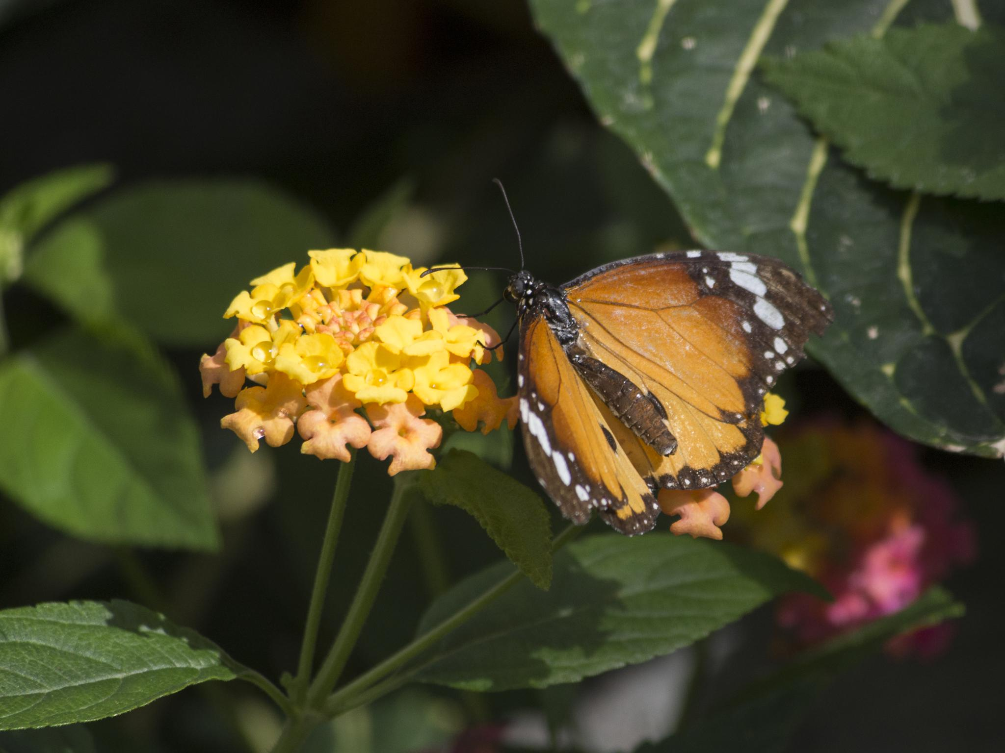 Common Tiger butterfly by Eugenie Robitaille
