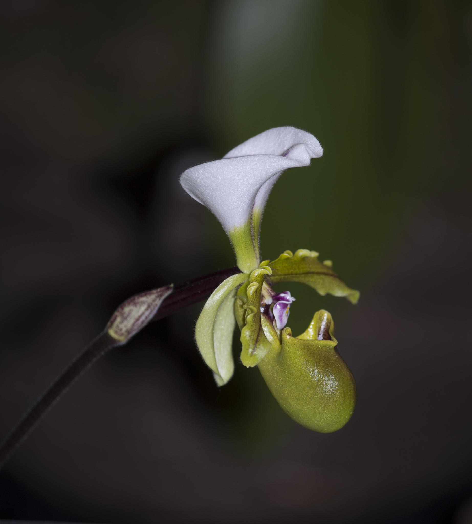 Orchid by Eugenie Robitaille