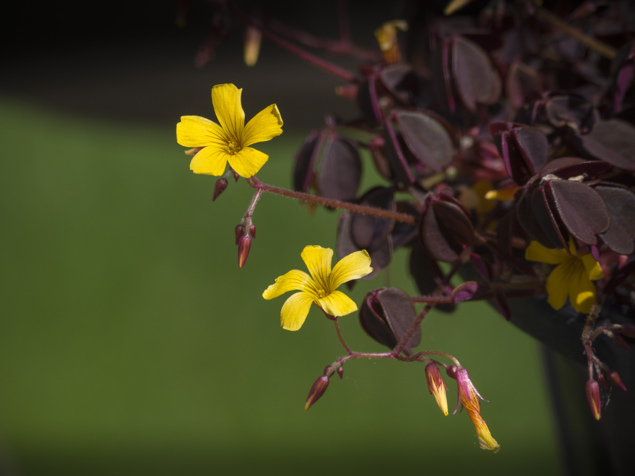 Yellow Oxalis flower by Eugenie Robitaille