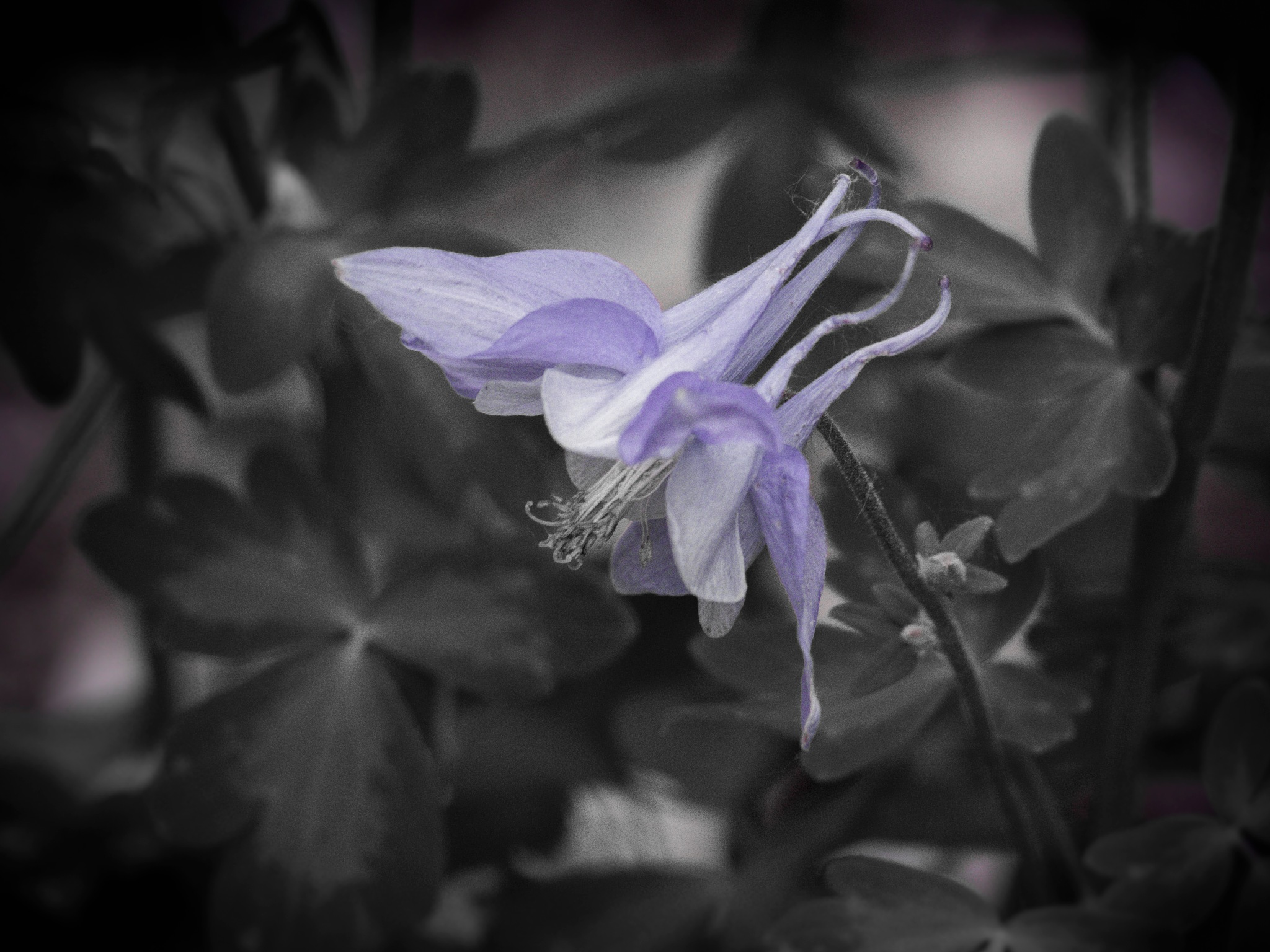 Beautiful columbine flower in bloom  by Eugenie Robitaille