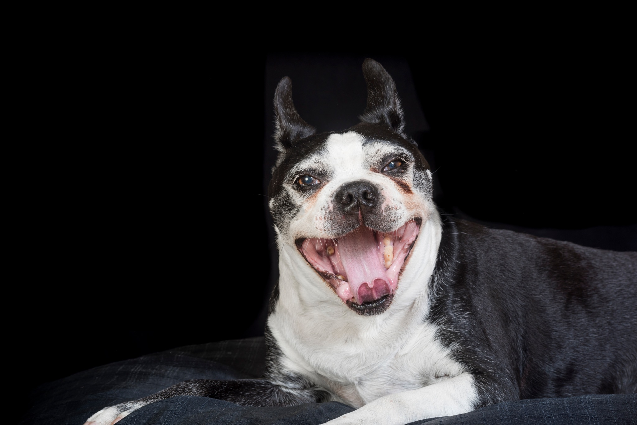 Cute and old Boston terrier dog with mouth open by Eugenie Robitaille