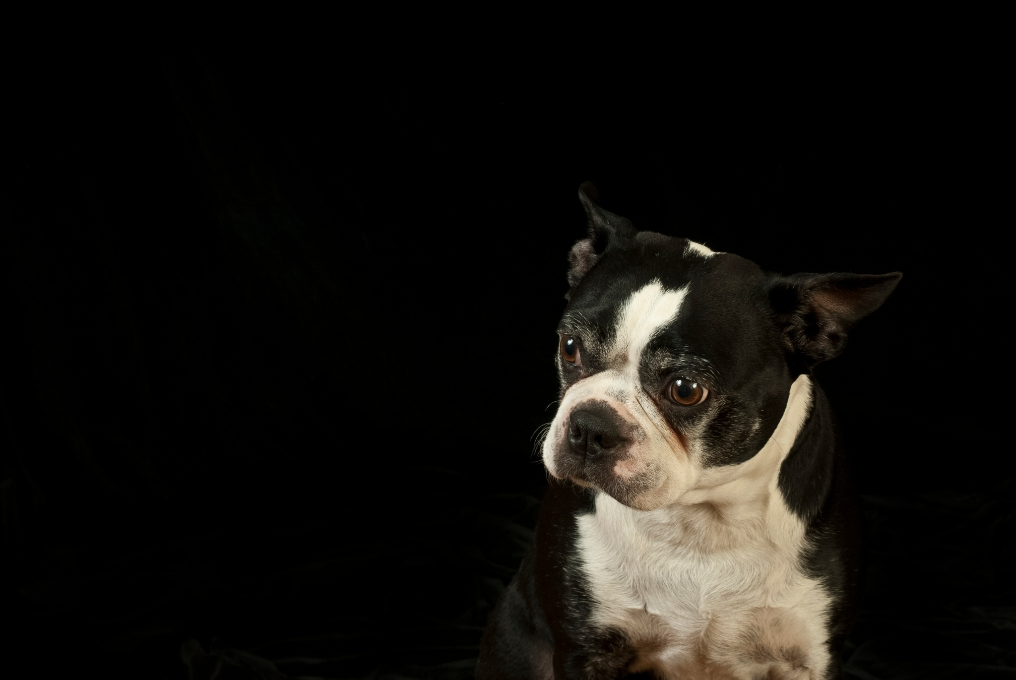 Boston Terrier at the studio by Eugenie Robitaille