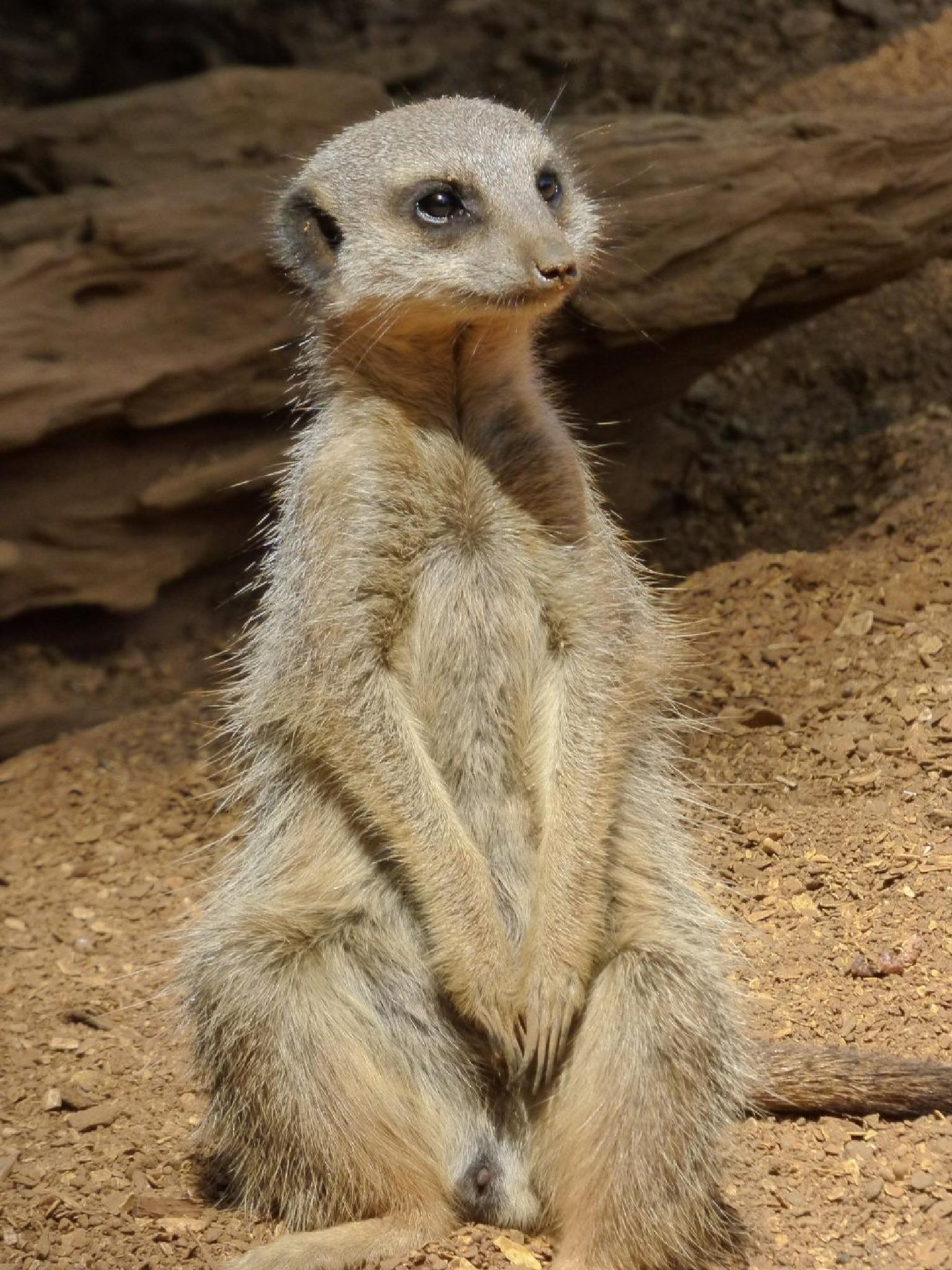 Meerkat by Alice Goss