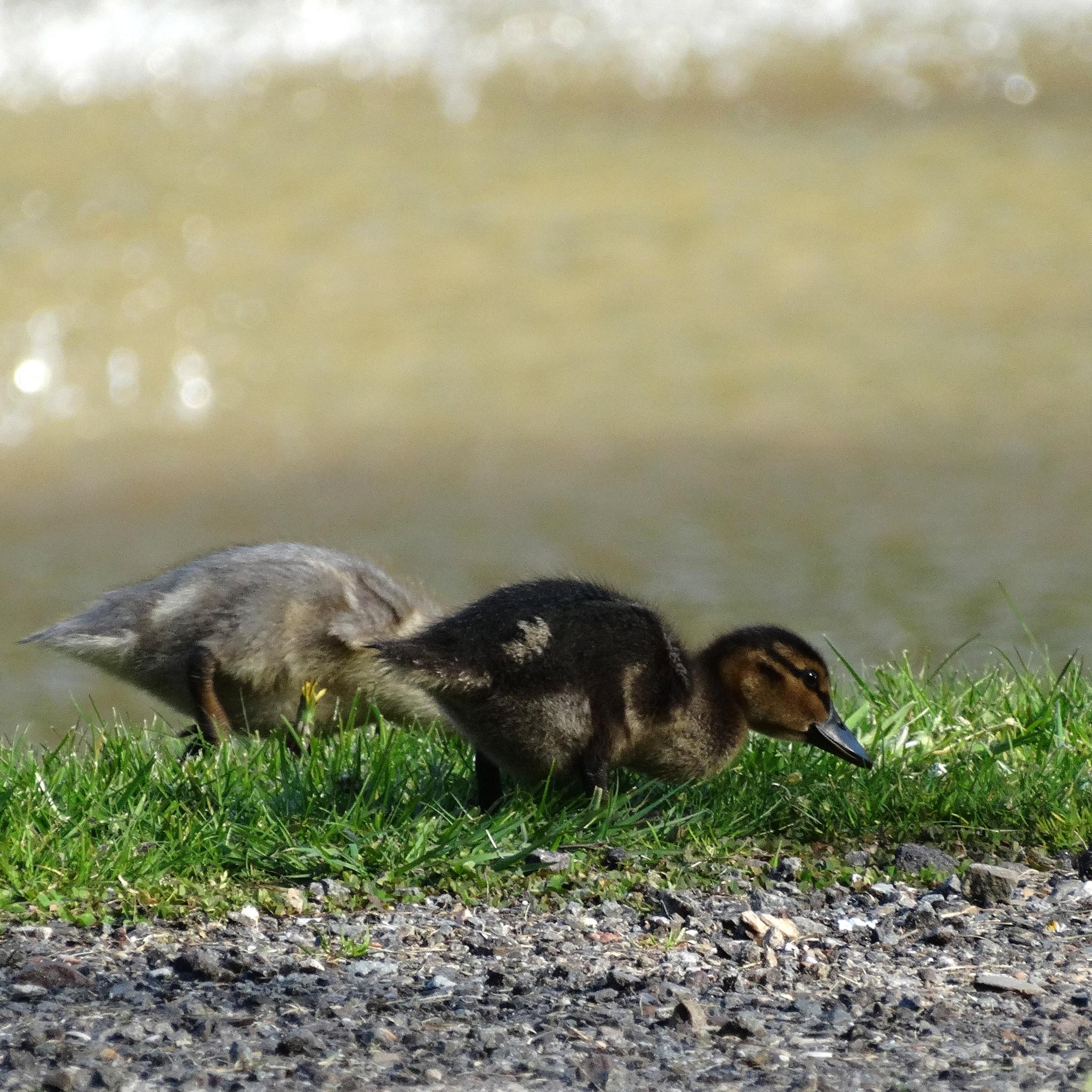 Little ducks by gezienapomplooman