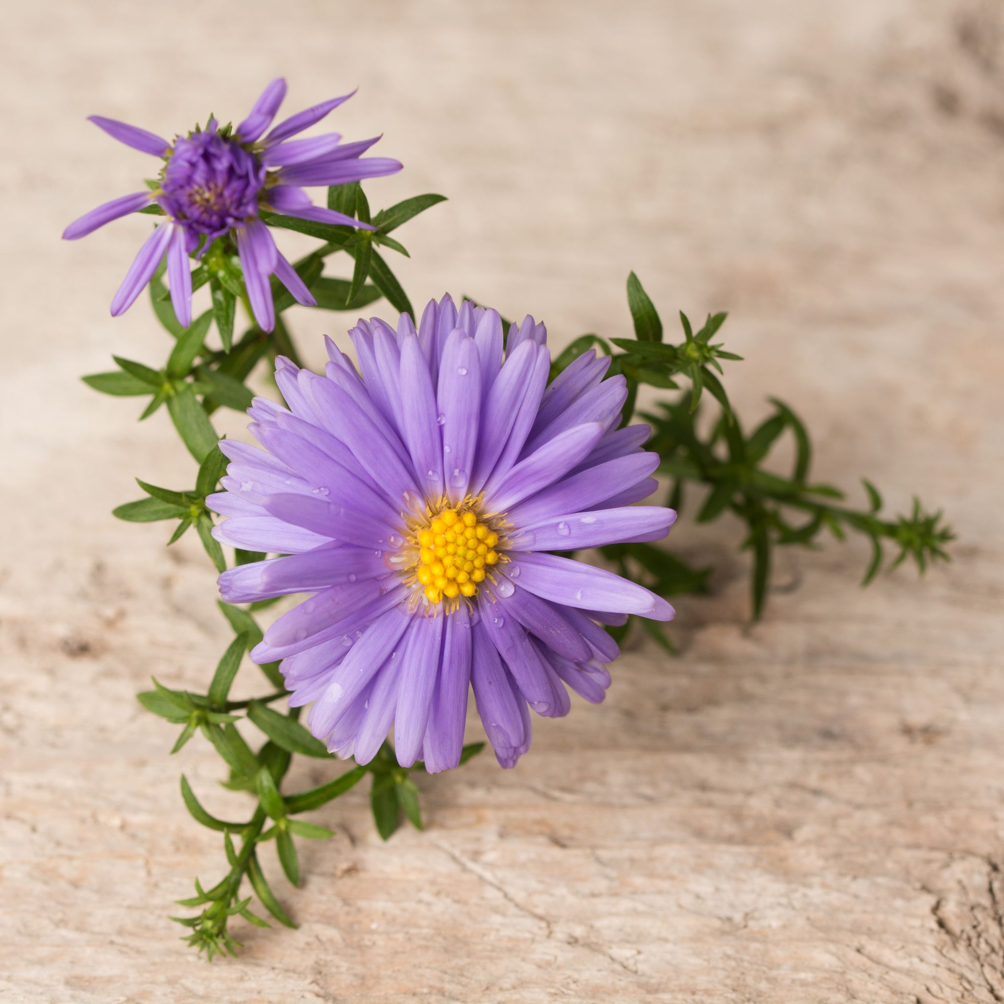 Herfst-Aster by gezienapomplooman