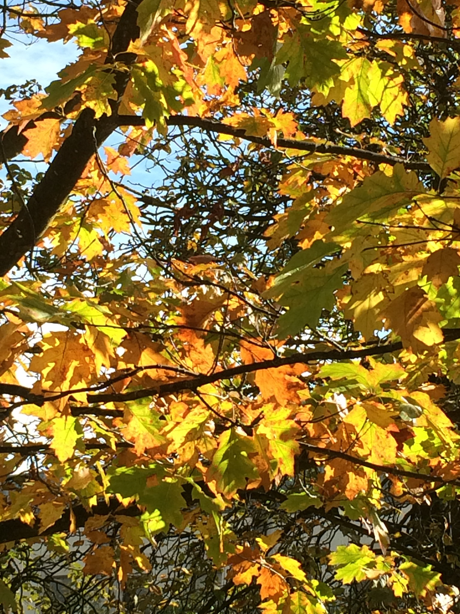 Autumn leaves catching the light by c.davis_1956