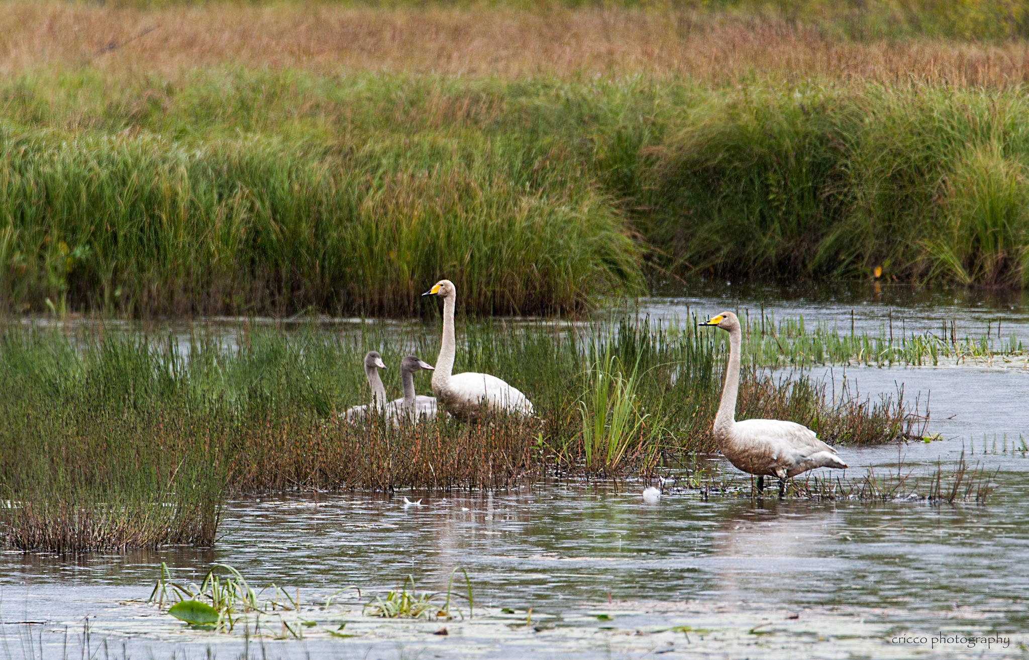 Whooper swans with two chicks by cricco photography