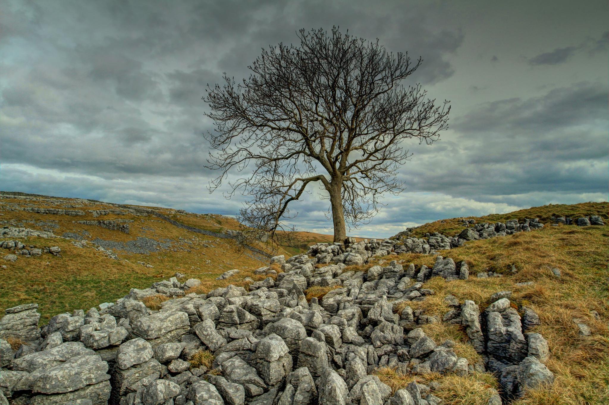 The Malham Ash by bonser54