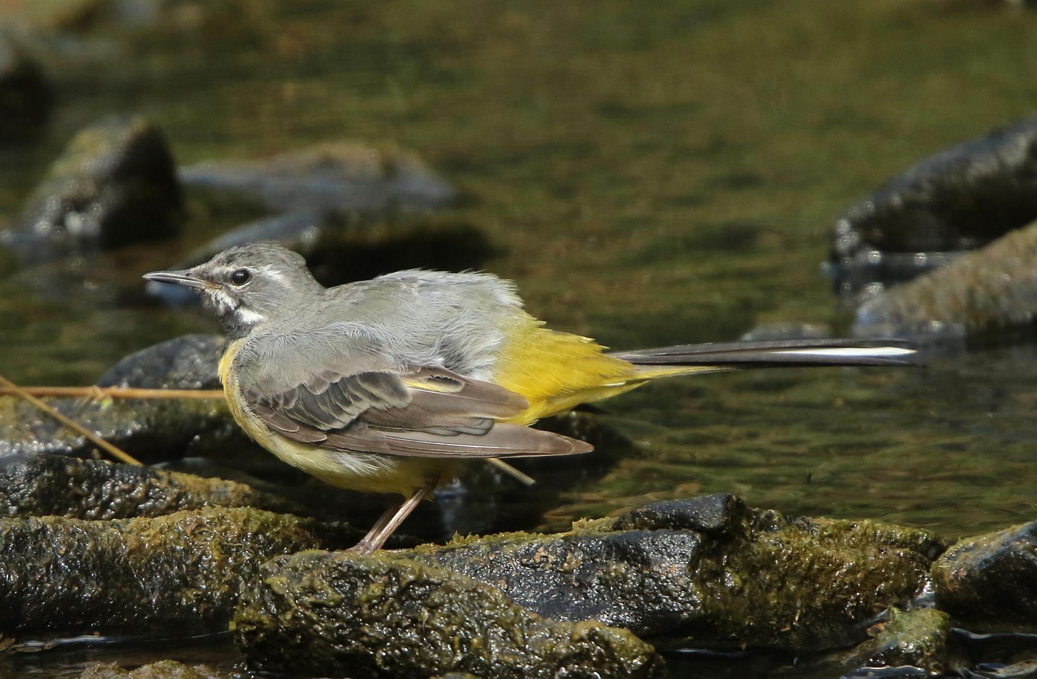 Grey Wagtail fledgeling by bonser54