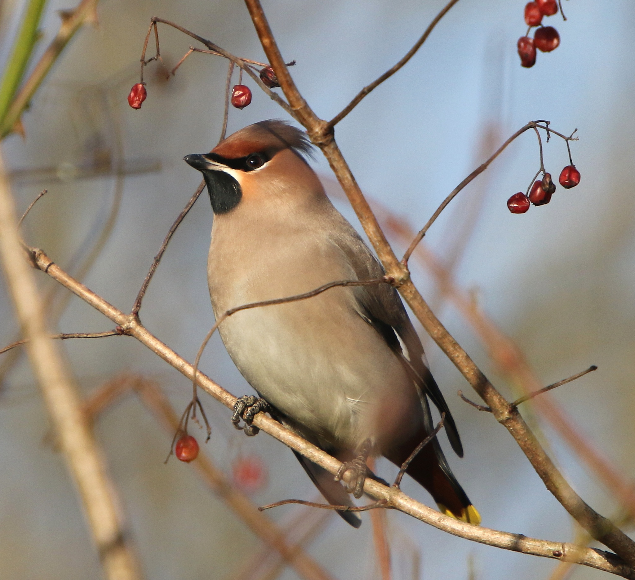 waxwing by bonser54