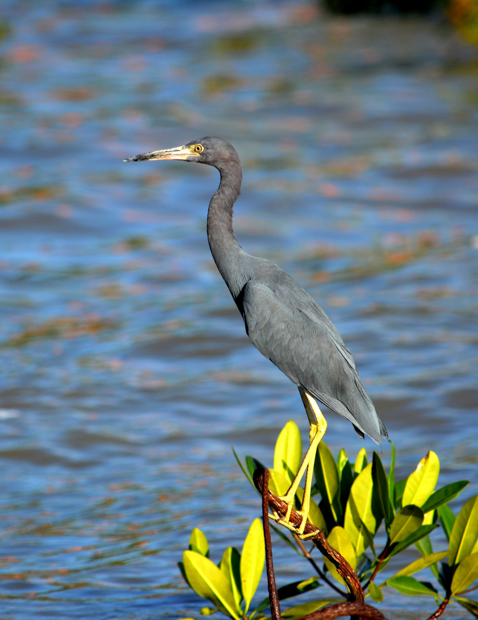 Stately Blue Heron by laboisselle